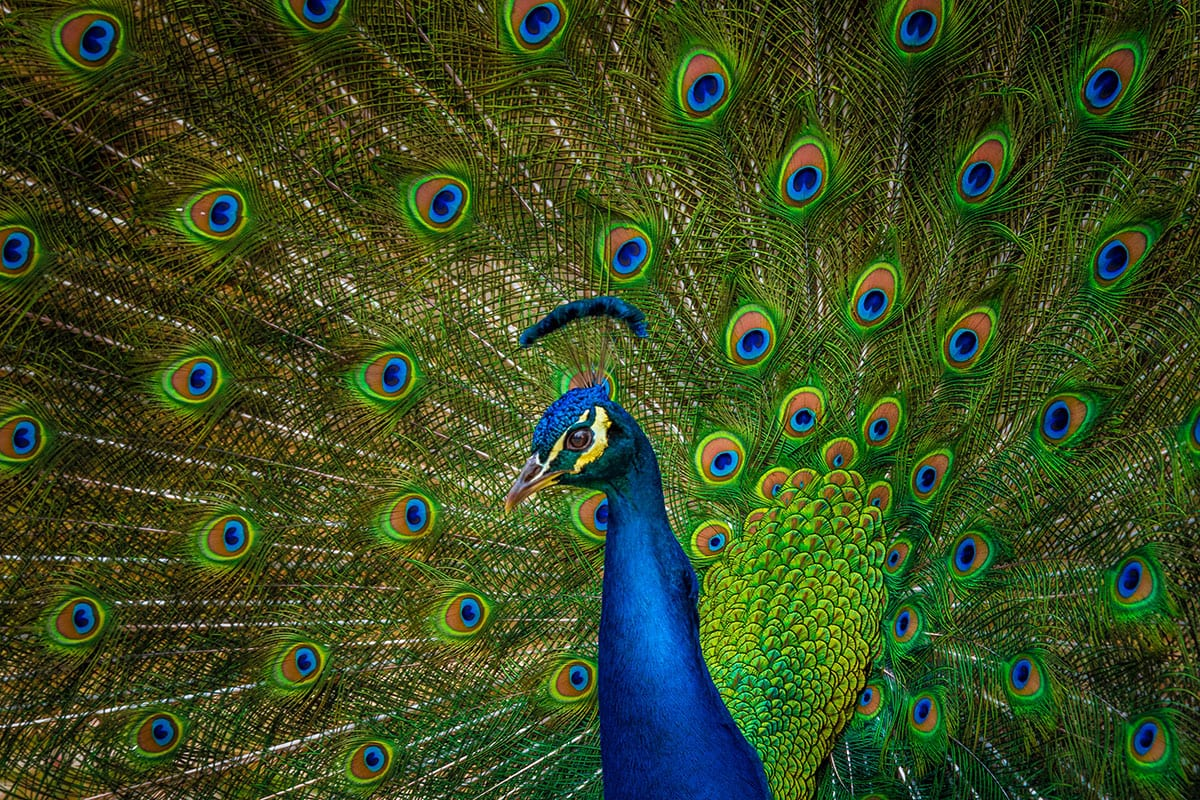 Close up of a peacock displaying it's plumage •'Crunching the digital display numbers' Earnest Agency Blog